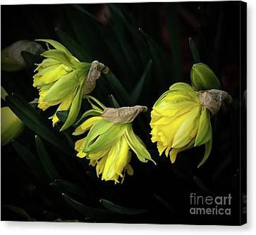 Daffodils After Wind Canvas Print