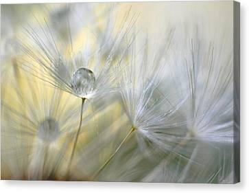 Dandelion Drop Canvas Print