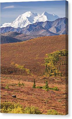 Canvas Print featuring the photograph Denali Grizzly by Tim Newton