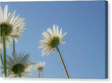 Distracted Daisies Canvas Print