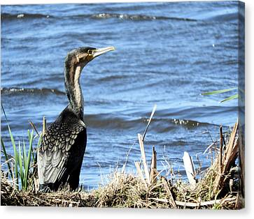 Double Crested Cormorant Canvas Print