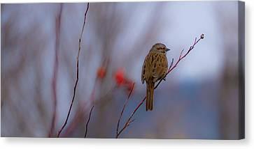 Early Spring Sparrow Canvas Print