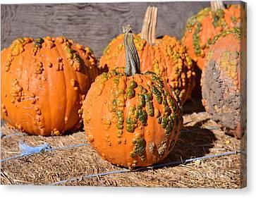 Fresh Butternut Pumpkins Canvas Print