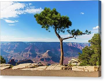 Grand Canyon Pine Tree Canvas Print