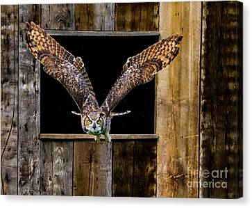 Great Horned Owl Flying Out Of The Barn Canvas Print