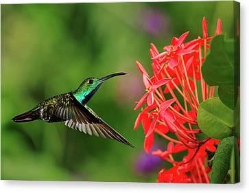 Green-breasted Mango Hummingbird, Costa Canvas Print by Adam Jones
