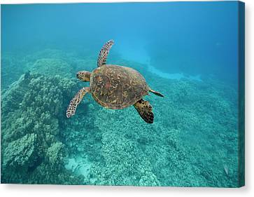 Green Sea Turtle, Big Island, Hawaii Canvas Print by Paul Souders