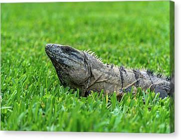 Iguana In Grass Canvas Print
