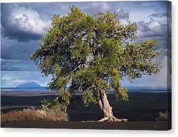Inferno Cone Juniper Tree Canvas Print