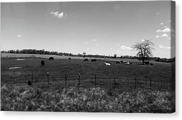 Leisurely Cows Canvas Print