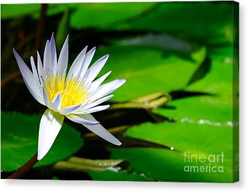 Lotus Flowers On The Pond Canvas Print