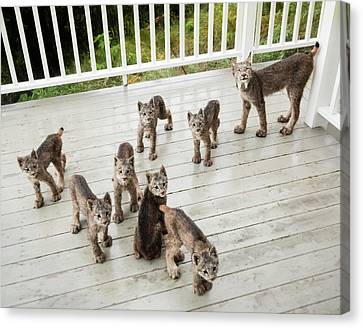 Canvas Print featuring the photograph Lynx Family Portrait 11x14 by Tim Newton