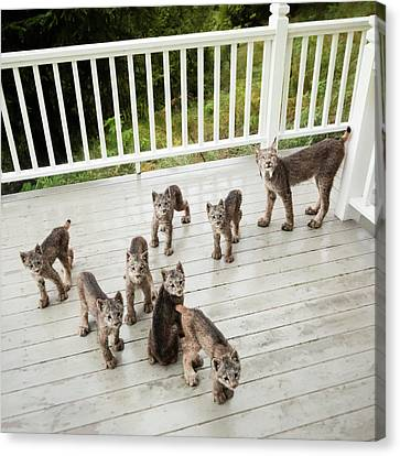Canvas Print featuring the photograph Lynx Family Portrait by Tim Newton