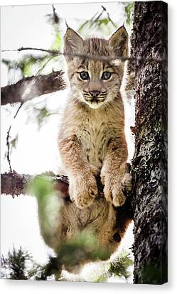Canvas Print featuring the photograph Lynx Kitten In Tree by Tim Newton