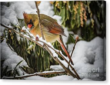 Madame Cardinal Canvas Print