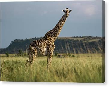 Masai Giraffe In Kenya Canvas Print