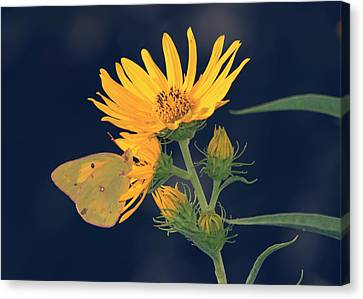 Maximilian Sunflower Butterfly Canvas Print