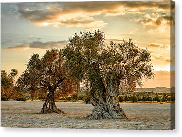 Olive Sunset Canvas Print