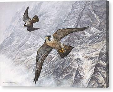 Pair Of Peregrine Falcons In Flight Canvas Print
