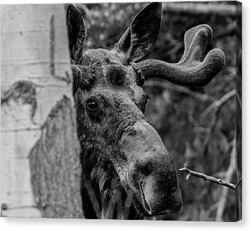 Peek-a-moose Canvas Print
