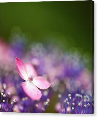 Pink And Purple Hydrangeas Canvas Print by Nazra Zahri