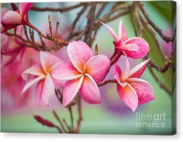 Pink Color Frangipani Flower Beauty Canvas Print by Focusstocker