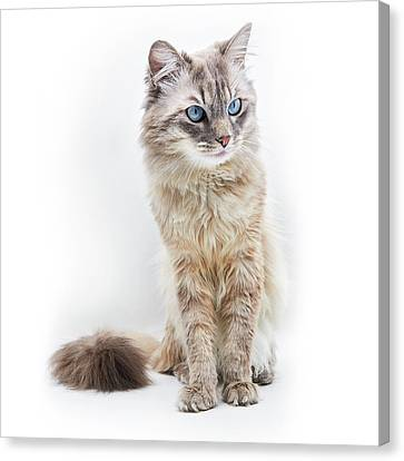 Portrait Of Pussy House Cat On White Canvas Print
