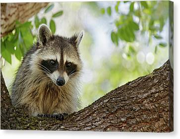 Raccoon 02 Canvas Print