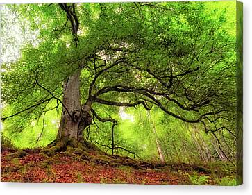 Canvas Print featuring the photograph Roots Of Taymouth Estate - Scotland - Beech Tree by Jason Politte