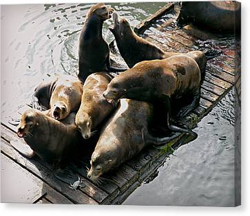 Canvas Print featuring the photograph Sea Lions In Newport by Micki Findlay