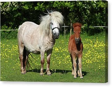 Shetland Pony Canvas Prints Fine Art America