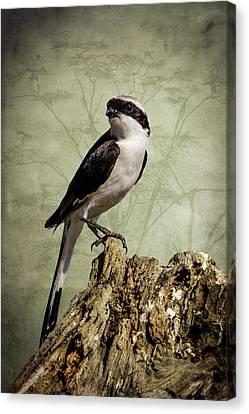Shrike Of The Serengeti Canvas Print
