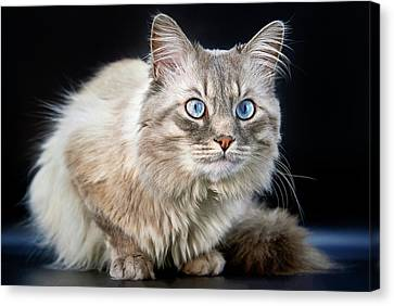 Blue Eyes Of A Siberian Colorpoint Cat Canvas Print