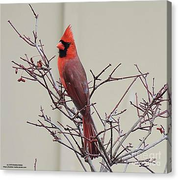 Mr. Cardinal Canvas Print