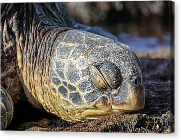 Sleepy Maui Sea Turtle Canvas Print