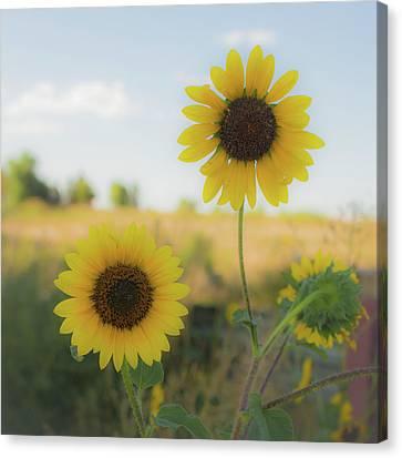 Summer Softness Canvas Print