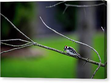 The Downey Woodpecker Canvas Print