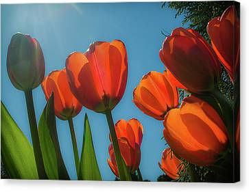 Towering Tulips Canvas Print