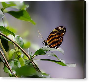 Tropical Beauty -- Tiger Longwing Butterfly At California Academy Of Sciences, California Canvas Print