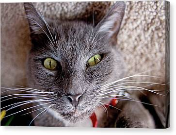 Canvas Print featuring the photograph Tyla -- Upside Down Cat by Joseph C Hinson Photography