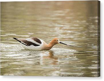 Usa, Colorado American Avocet Swimming Canvas Print by Jaynes Gallery
