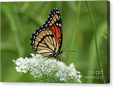 Viceroy Butterfly On Queen Anne's Lace Canvas Print