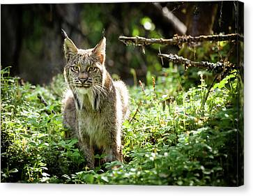 Canvas Print featuring the photograph Watchful Mama Lynx by Tim Newton