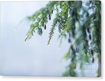 Winter Hemlock Canvas Print