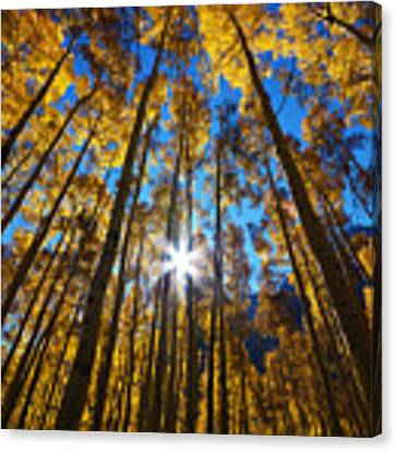 Autumn Aspens Canvas Print by Kate Avery