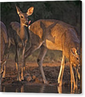 Whitetail Deer At Waterhole Texas Canvas Print by Dave Welling