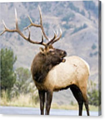 Bull Elk Canvas Print by Wesley Aston