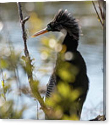 Anhinga 3 March 2018 Canvas Print by D K Wall