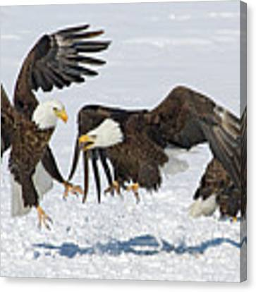 Bald Eagle's Canvas Print by Wesley Aston