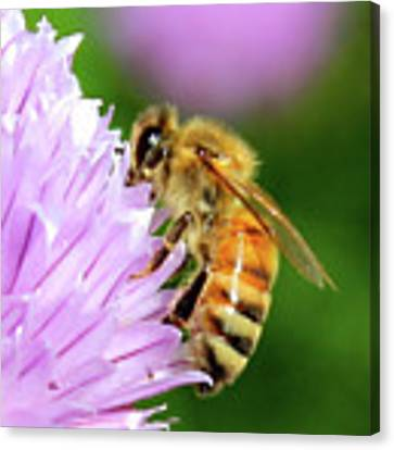 Bee On Chive Flower Canvas Print by Ann E Robson